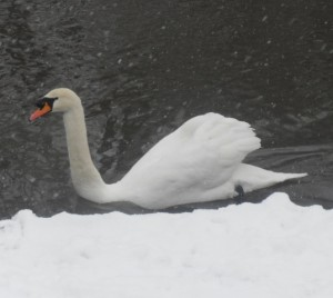 Swan,wild bird