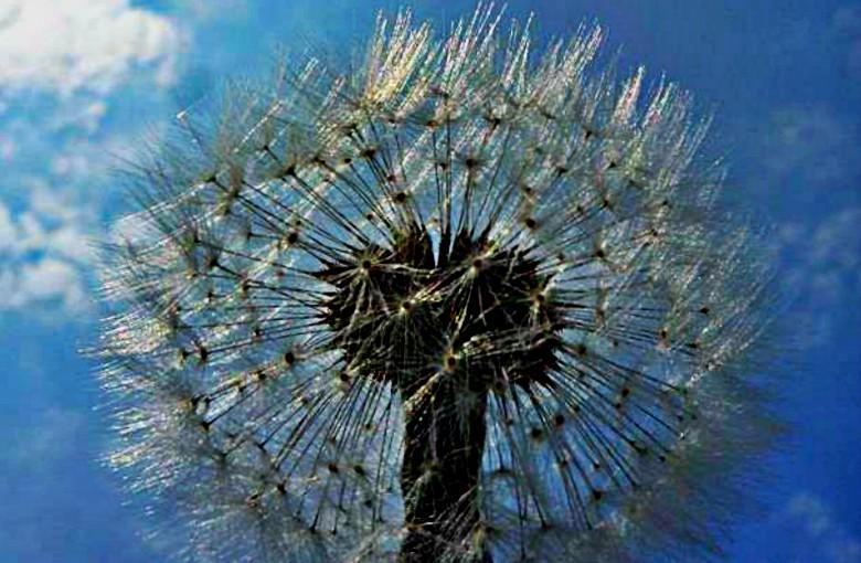 The Dandelion poem