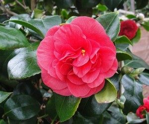 Red Camellias Flower