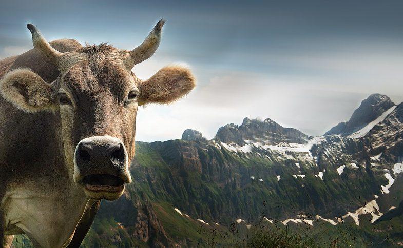 Haiku - Cow