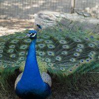 Peacock - Cinquain Poem