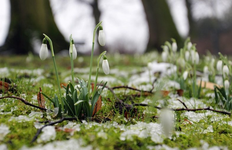 Haiku Poem - Snowdrops
